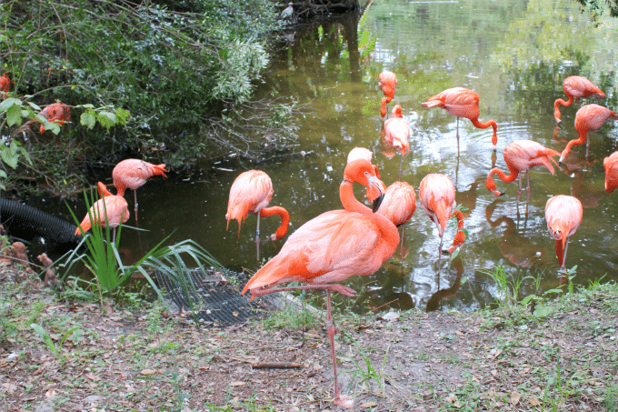 Jacksonville-Florida-zoo-flamingoes