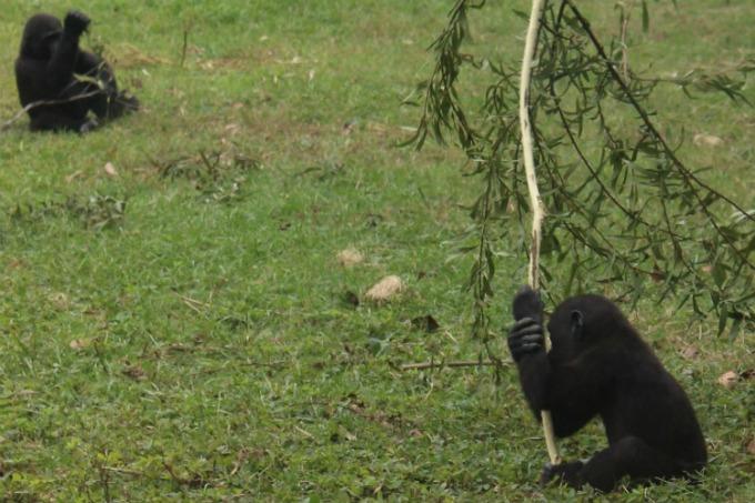 Jacksonville-Florida-zoo-baby-gorillas