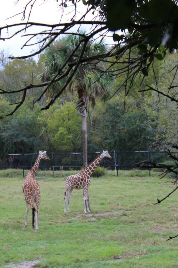 Jacksonville-Florida-zoo-giraffes