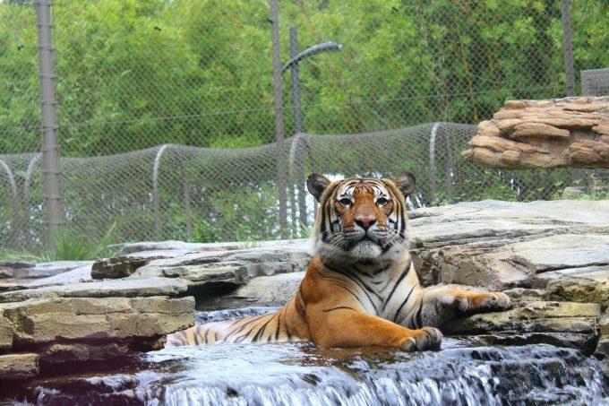 Jacksonville-Florida-zoo-tiger