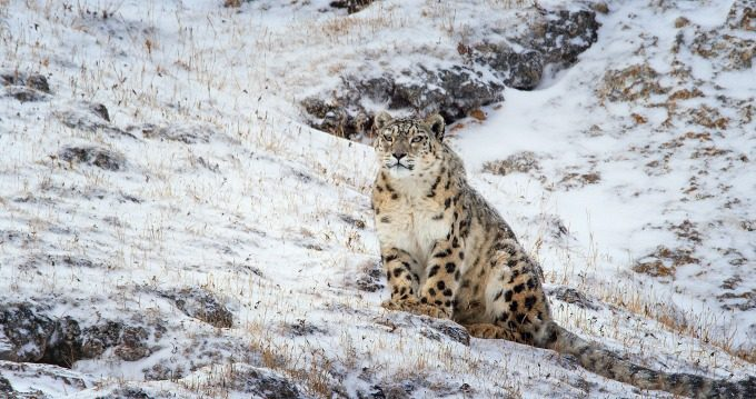 The filmmakers were able to track down the elusive snow leopard - Born In China free printables