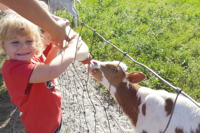 One of Keira's favorite things to do in Sarasota is to bottle feed the babies at Dakin Dairy Farms