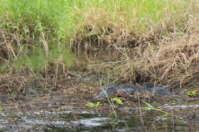 #YouOtaVisit Sarasota, Florida if you want to spot some alligators