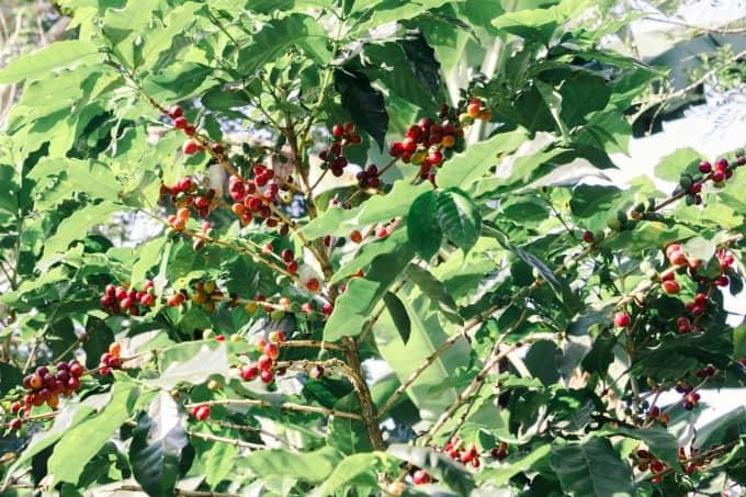 Coffee beans at Espiritu Santo Coffee Plantation