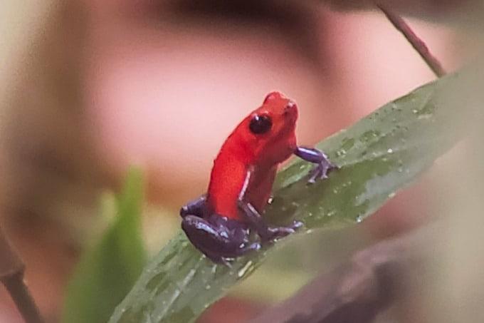 Frog at La Selva