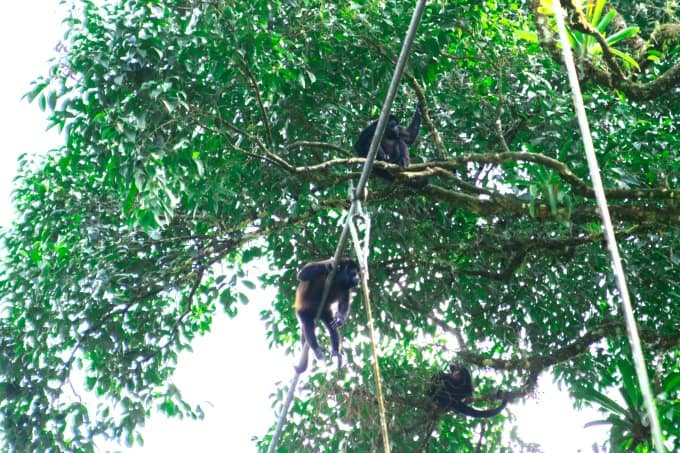 Monkeys in the trees at La Selva Biological Station Arenal Costa Rica