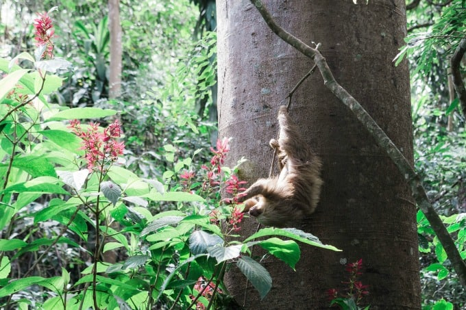 Sloth munching on leaves at Rescate Animal ZooAve in Costa Rica