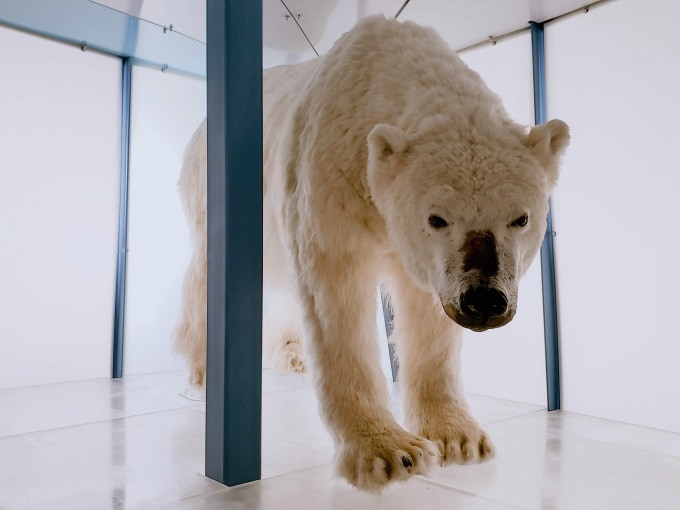 Polar bear at Arktikum museum