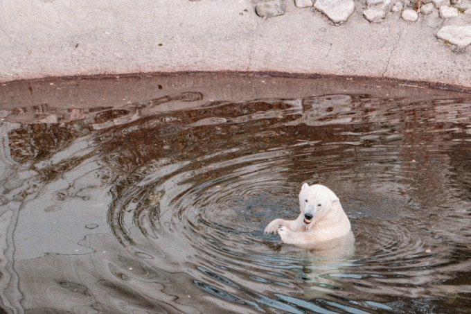 Looking for polar bears at Ranua zoo is one of our favorite family friendly things to do in Rovaniemi