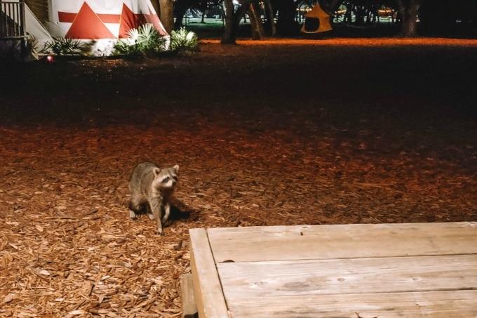 Raccoon at camp