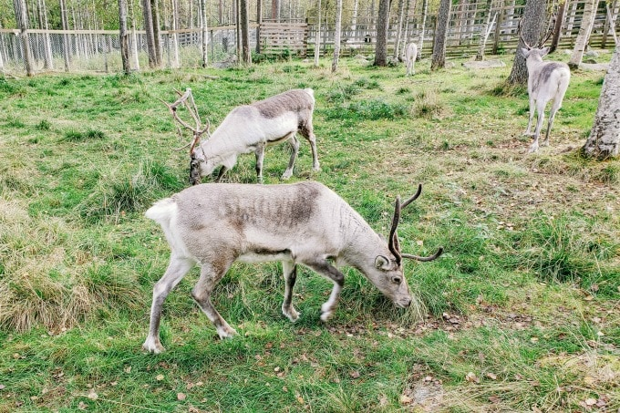 Reindeer at Ranua zoo