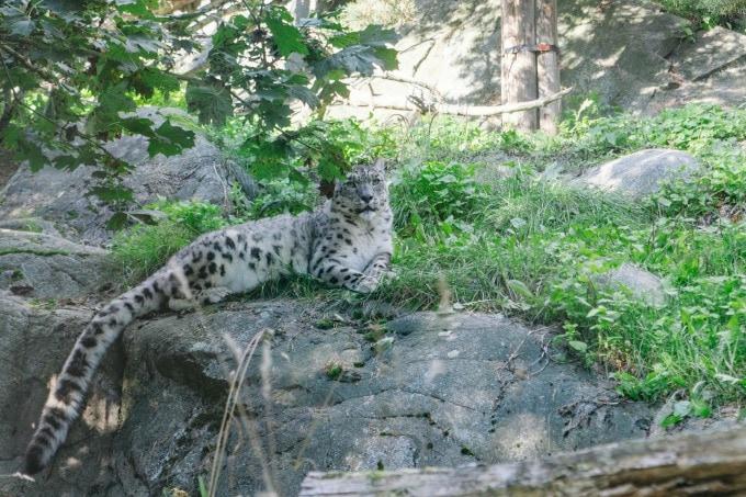 Leopard at Helsinki zoo
